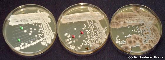 Abb. 9.1: Vereinzelungsausstrich von Reinzuchthefen auf einem synthetischen Nährmedium. Je nach Sorte finden sich ausschließlich helle Kolonien von Hefen (grüne Pfeile) oder ein Gemisch mit milchig-trüben Kolonien von Bakterien (rote Pfeile) oder Schimmel (brauner Pfeil, Platte rechts).