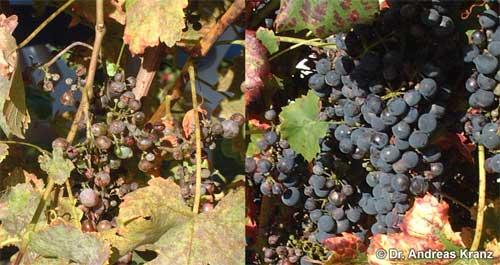 Abb. T2.2: Dieses Bild demonstriert die Anfälligkeit von Weinreben für Pilzerkrankungen. Beide gezeigten Weinreben waren nur wenige Meter voneinander entfernt. Die Pflanze links wuchs am Wegesrand und wurde nicht gespritzt, die Pflanze rechts wurde gespritzt.