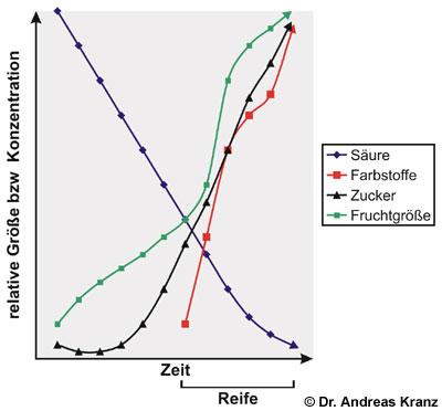 Abb. T2.1: Schematische Darstellung der Entwicklung von Traubengröße und Inhaltsstoffen während der Traubenentwicklung und Traubenreife (nach Watson 2003).