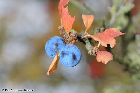 Die Schlehe gehört zu den Steinobstgewächsen, ist also verwandt mit Kirsche, Pflaume & Co. Der Apfelmost profitiert von ihrem hohem Gerbstoffgehalt.