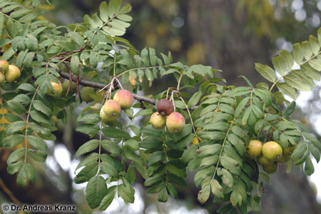 Die Früchte des Speierlings haben einen sehr hohen Gerbstoffgehalt. Der Saft des Speierlings macht den Most herber im Geschmack und verbessert dessen Haltbarkeit.