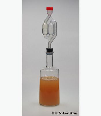 Abb. 9.3: Ein frisch, strikt nach Rezept  angesetzter Gärstarter: Verwendet wurden 400 mL naturtrüber Apfelsaft, 0,4 g Hefenährsalz, 40 g Zucker ein ganzes Fläschchen mit Flüssighefe. Die Zutaten wurden in eine 500 mL-Flasche gegeben und gründlich gemischt. Der Schaum auf der Flüssigkeitsoberfläche ist beim Schütteln entstanden.